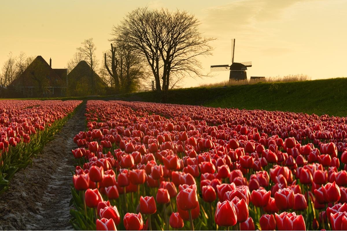 Rode Tulpen met Molen